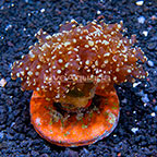 Gold Tip Frogspawn Coral Indonesia (click for more detail)