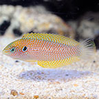 Kuiter's Leopard Wrasse Initial Phase EXPERT ONLY (click for more detail)