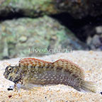 Red Fin Sailfin/Algae Blenny (click for more detail)
