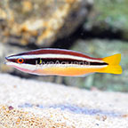 Wandering Cleaner Wrasse (click for more detail)
