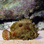 Marble-Mouthed Frogfish (click for more detail)