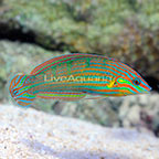 Vrolik's Wrasse Terminal Phase Male (click for more detail)