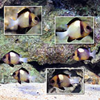 Cloudy Damselfish (Group of 6) (click for more detail)