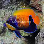 Blue Girdled Angelfish Adult [Blemish] (click for more detail)