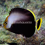 Black Velvet Angelfish [Blemish] (click for more detail)