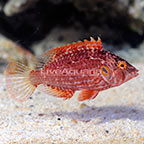 Cockerel Wrasse (click for more detail)