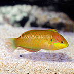Moyer's Leopard Wrasse EXPERT ONLY (click for more detail)