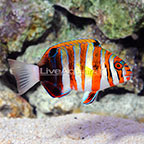 Philippines Harlequin Tusk  (click for more detail)