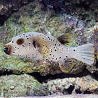 Dogface Puffer  (click for more detail)