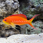 Ignitus Anthias Male (click for more detail)