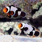 Bali Aquarich Captive-Bred Black Ice Clownfish (Bonded Pair) (click for more detail)