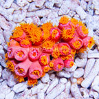 Aussie Tube Coral Pink (click for more detail)