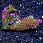 Wham'n Watermelon Colony Polyp Rock Zoanthus Indonesia IM (click for more detail)