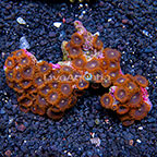 X-Men Colony Polyp Rock Zoanthus Indonesia IM (click for more detail)