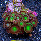 Nuclear Green Eye Colony Polyp Rock Protopalythoa Indonesia IM (click for more detail)