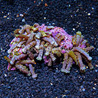 Snake Polyps Indonesia (click for more detail)