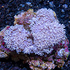 Pom Pom Xenia Coral Tonga (click for more detail)