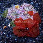 Aussie Mushroom Rock Actinodiscus (click for more detail)