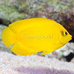 Yellow Angelfish (click for more detail)