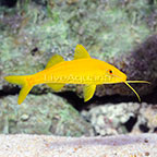 Yellow Goatfish (click for more detail)