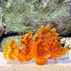 Eschmeyer's Scorpionfish Orange (click for more detail)