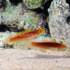Bella Goby (Bonded Pair) (click for more detail)