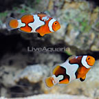 ORA® Captive-Bred Nebula Picasso Percula Clownfish (Bonded Pair) (click for more detail)
