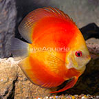 Red Marlboro Highfin Discus (click for more detail)