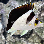 Yellow Crowned Butterflyfish Hybrid (click for more detail)