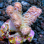 Sinularia Finger Leather Coral Melanesia (click for more detail)