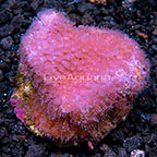 Flowerpot Coral Tonga (click for more detail)