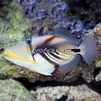 Humu Picasso Triggerfish  (click for more detail)