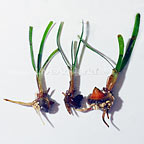 Sea Grass Propagules (3-lot) (click for more detail)