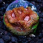 USA Cultured War and Peace Favia Coral (click for more detail)