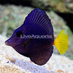 Red Sea Purple Tang [Blemish] (click for more detail)