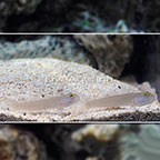 Sleeper Blue Dot Goby (Bonded Pair) (click for more detail)