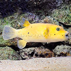 Arothron Golden Puffer [Blemish] (click for more detail)
