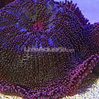 Haddon's Carpet Anemone Red (click for more detail)