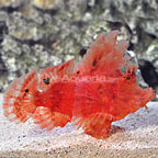 Weedy Scorpionfish (click for more detail)