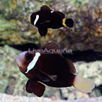 ORA® Captive-Bred McCulloch's Clownfish (Bonded Pair) (click for more detail)