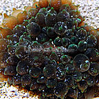 Ultra Bubble Tip Anemone Speckled Green  (click for more detail)