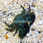 Green Porcelain Crab  (click for more detail)