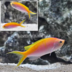 Bartlett's Fairy Anthias (Trio) (click for more detail)