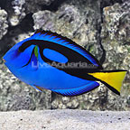 Jumbo Blue Tang (click for more detail)