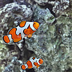 Captive-Bred Gladiator Clownfish (Bonded Pair)  (click for more detail)