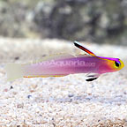Helfrichi Firefish   (click for more detail)