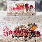 Red Scooter Dragonet (Bonded Pair) (click for more detail)