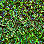 Aussie Goniastrea Brain Coral  (click for more detail)