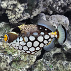 Clown Triggerfish Adult (click for more detail)