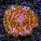 Short Tentacle Plate Coral Indonesia  (click for more detail)